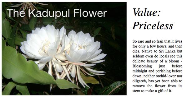 Kadupul flower Priceless