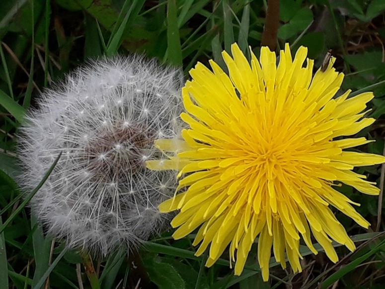 Dandelion Flower and Tick Tock Dandelion Clock