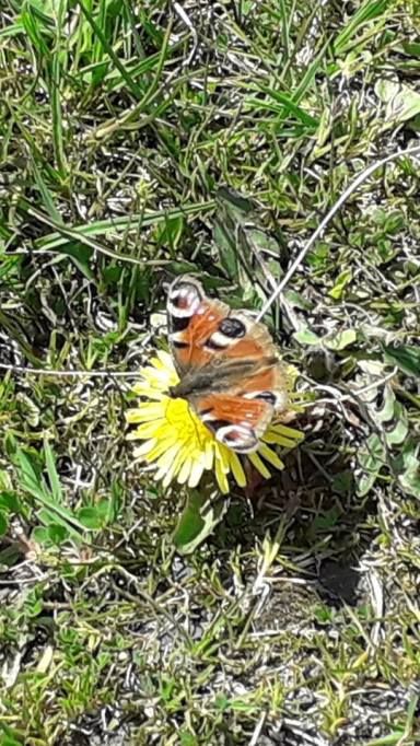 Red Admiral on Dandelion 2