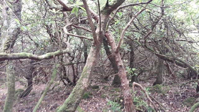 Dancing Trees Forest Donegal Ireland