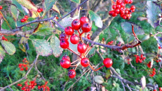 Bright red berries on branch