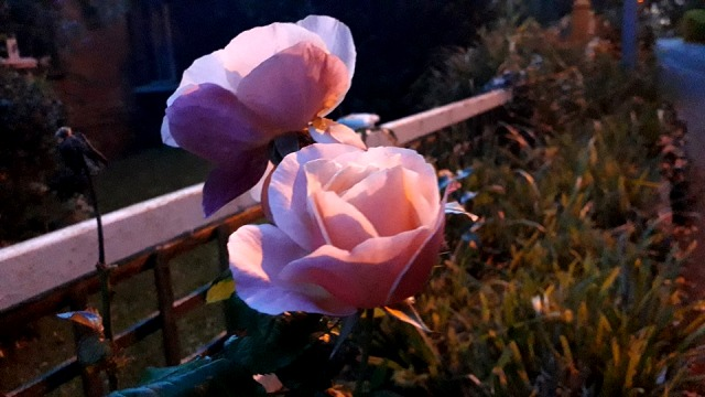 Equisite Wild Pink Roses on a Moonlit Night