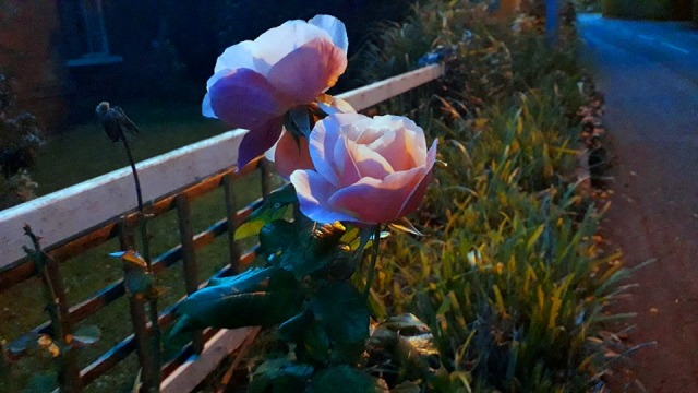 Pink Roses in the evening photo