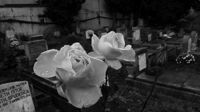 Roses in Graveyard, Brasov, Transylvania