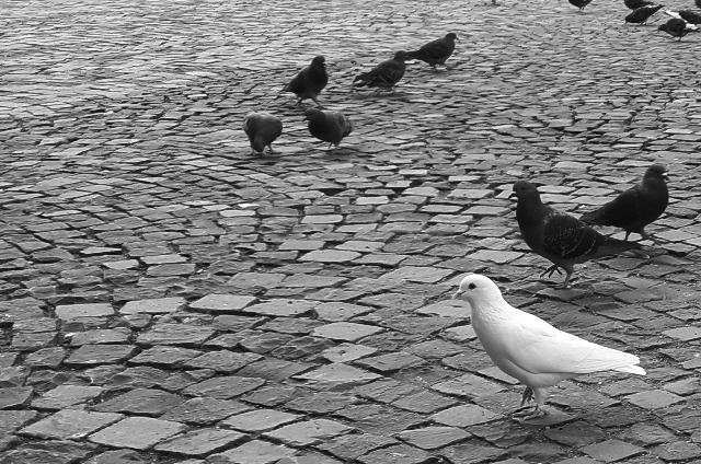 White dove amongst Pigeons