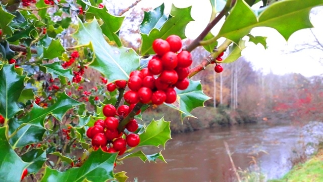 Holly growing by river