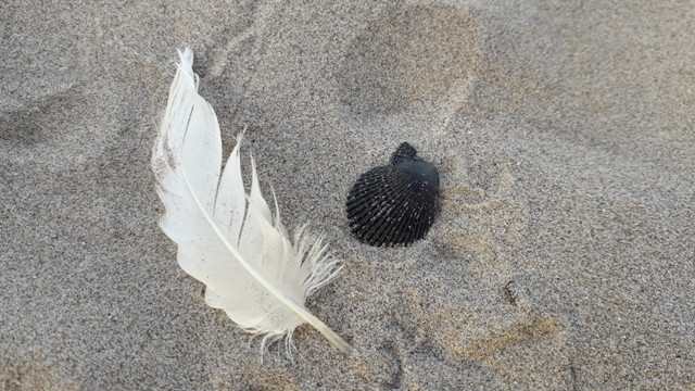 White Feather and Black Shell found on sandy beach photo