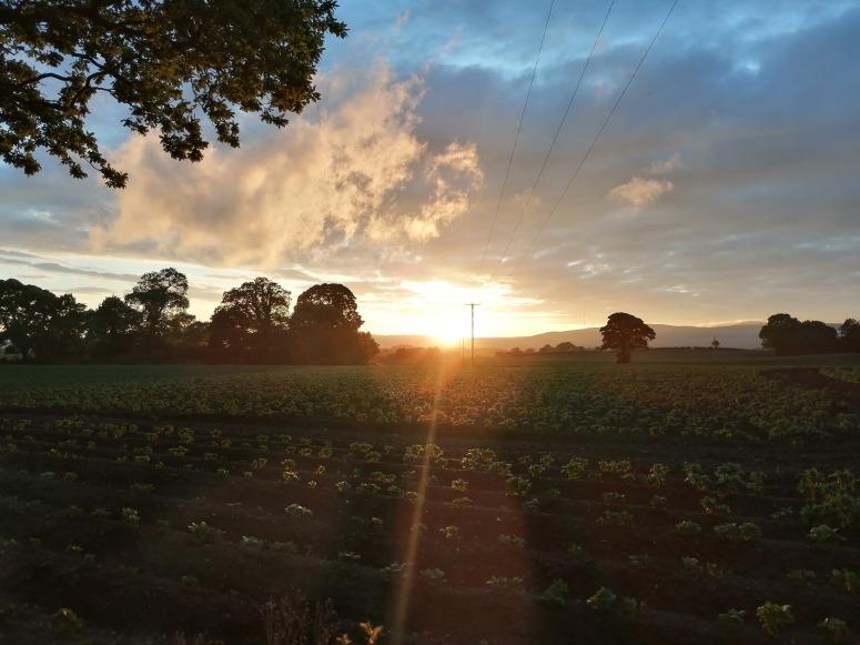 Potato Field in the Sun